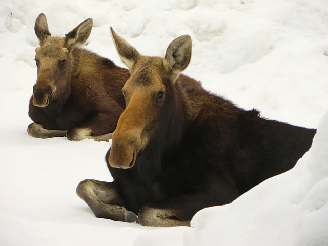 These two moose were lounging in our driveway on Valverdant Circle on Sunday morning. Submitted by: Sarah Tolles