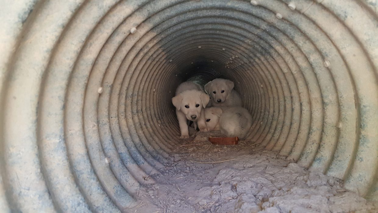 puppy predicament livestock protection dogs rescued from culvert