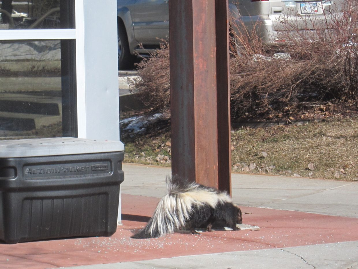 """A perky skunk takes a stroll through Wildhorse Plaza. Quite the surprise for pedestrians!"" Submitted by Joan Heimbach."