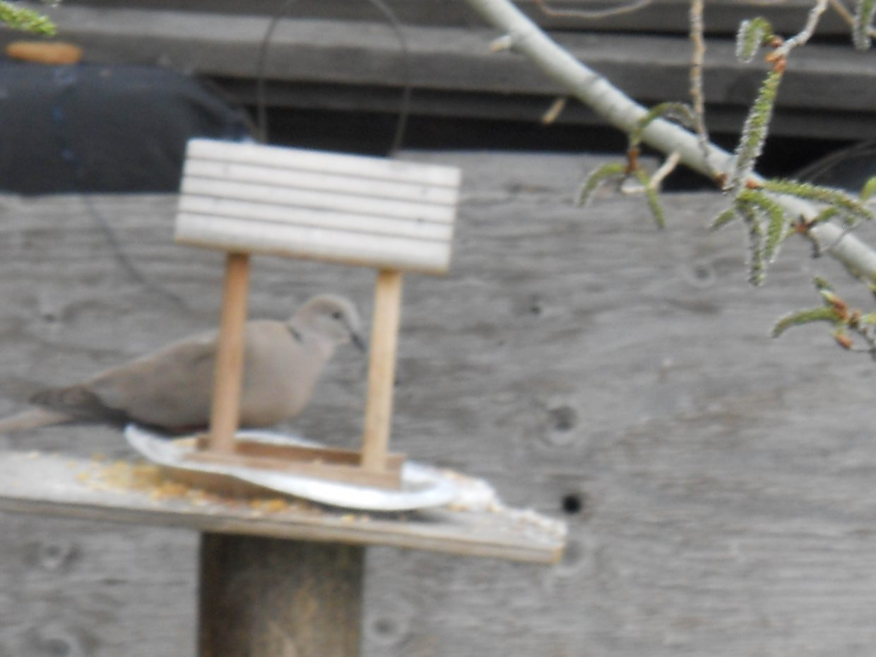 One of a pair of doves. Submitted by Roxanne Pranger.