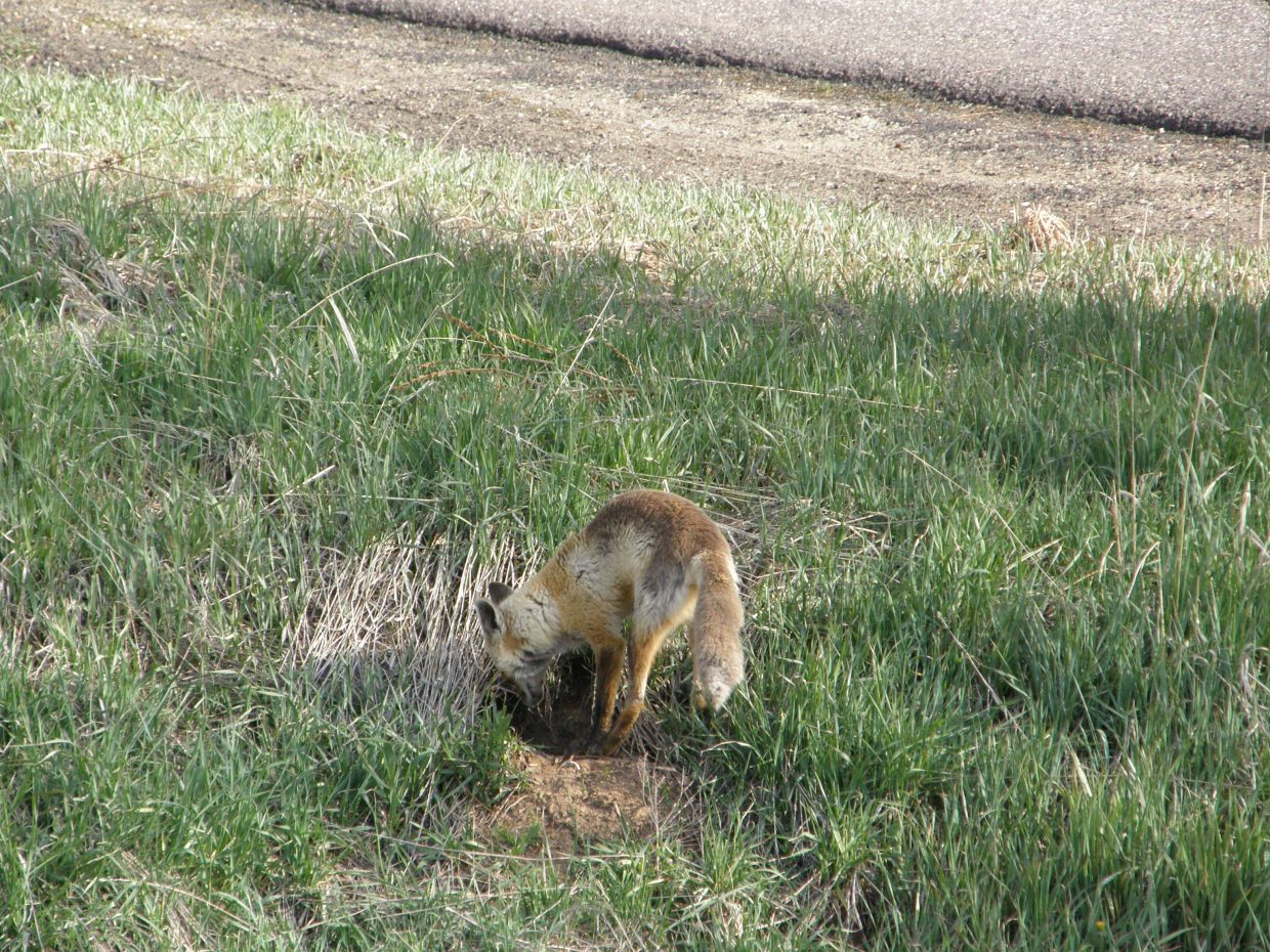 Fox sighting. Submitted by Roxanne Pranger.