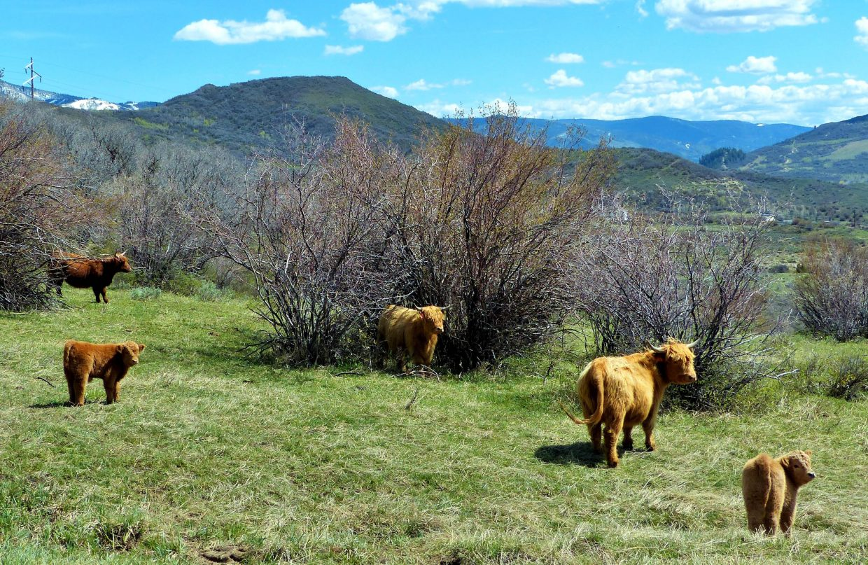 Highlander cattle in Steamboat. Submitted by Shannon Lukens.
