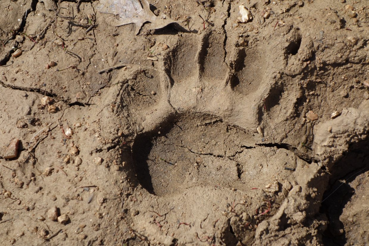 Awake! Black bear paw print on FSR 128 near Mad Creek. Submitted by: Diane Miller
