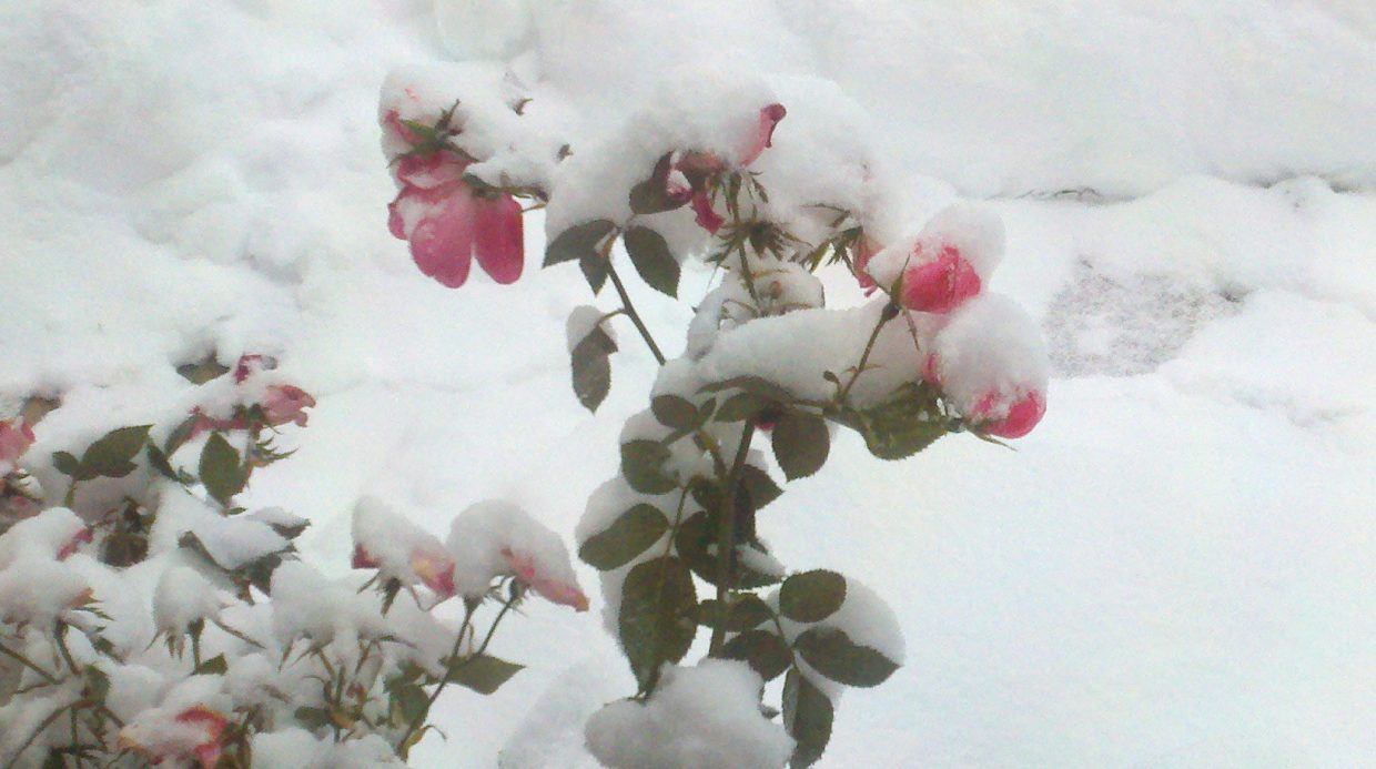 Snowy rose. Submitted by: Leslie Richardella