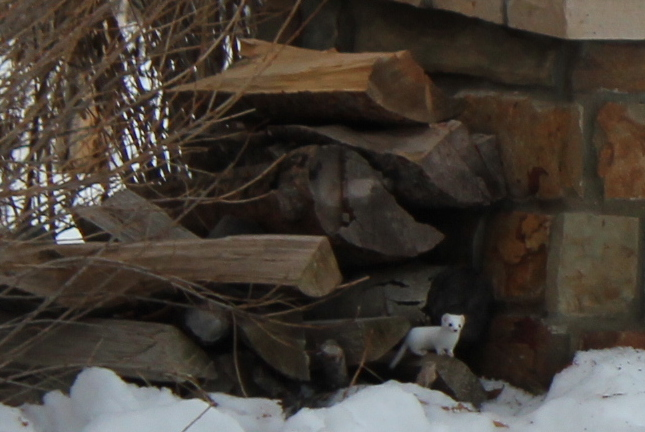 Weasel in the woodpile. Submitted by: Diane Miller