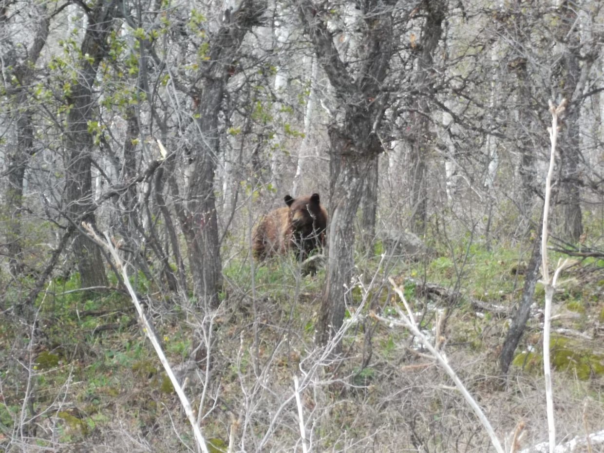 Black bear spotted Tuesday morning north of town off Diamondback Way. Submitted by: Greg Pohlman