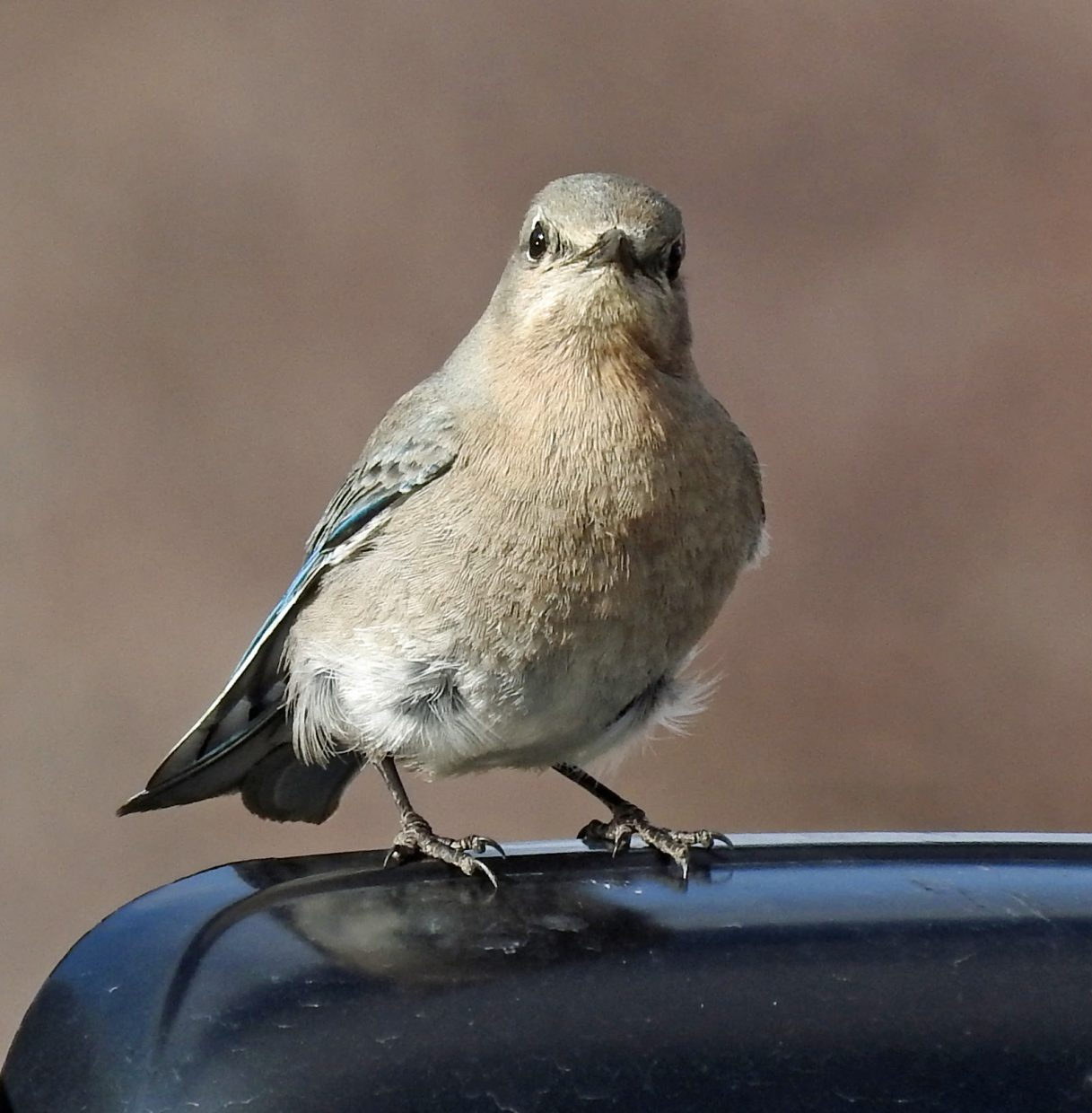 Mountain Bluebird (female) on the side mirror of my car! Submitted by Tresa Moulton.
