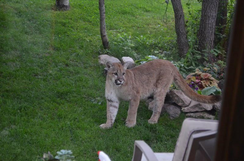 Mountain lion at Coale's in Soda Creek Highlands. Submitted by Darcy Coale.