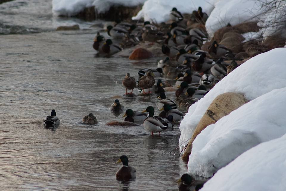 Mallards taking a break from studying at the Library