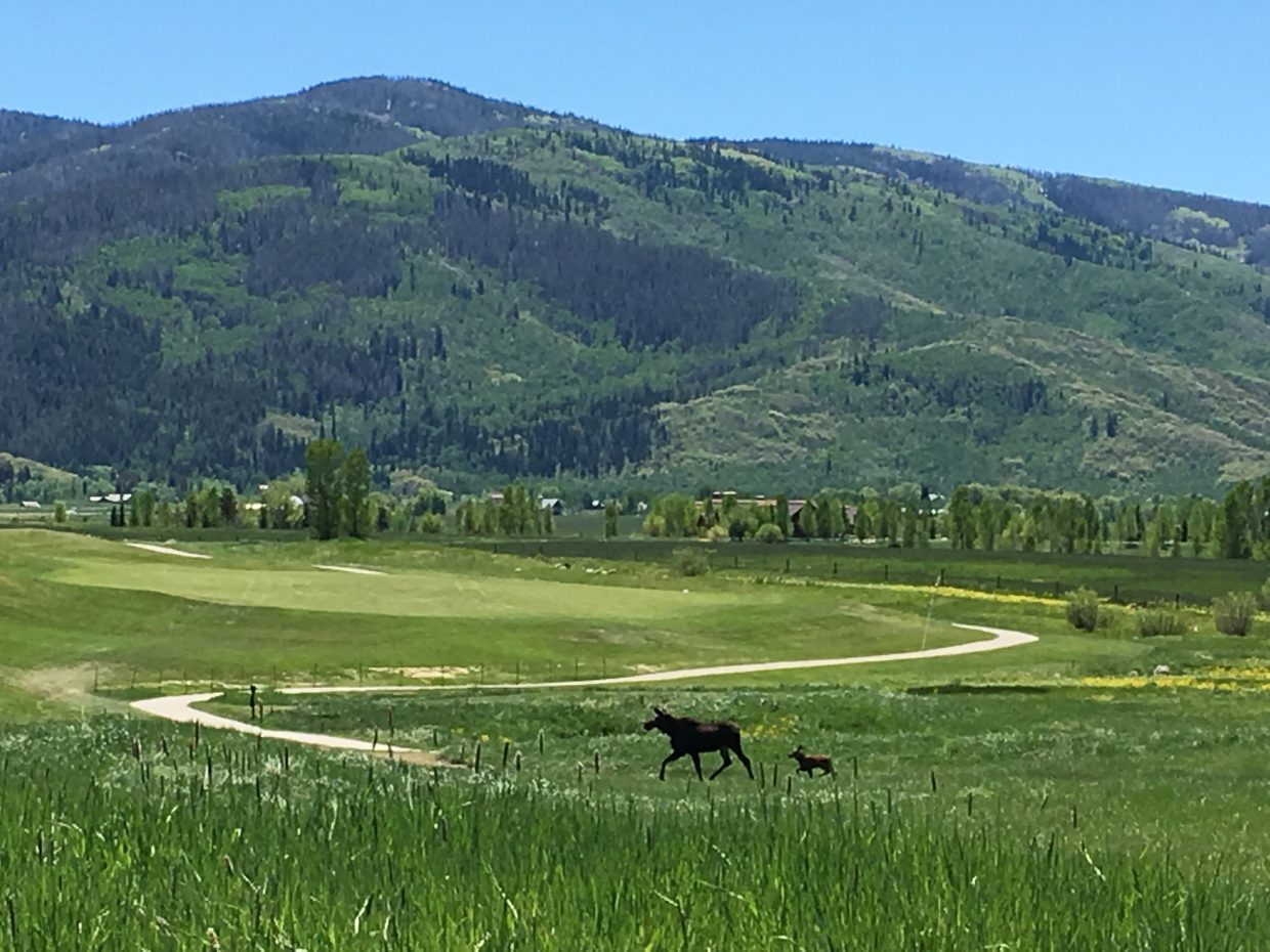 Momma & Baby Moose @ Hole 13, Haymaker Golf Course. Submitted by Sue Campbell.