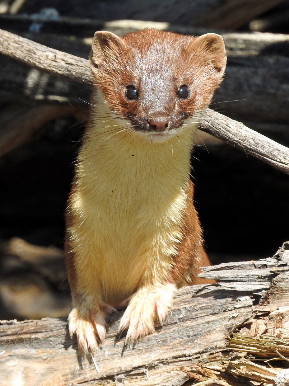 Long-tailed Weasel along CR179 west of Steamboat. Submitted by Tresa Moulton.