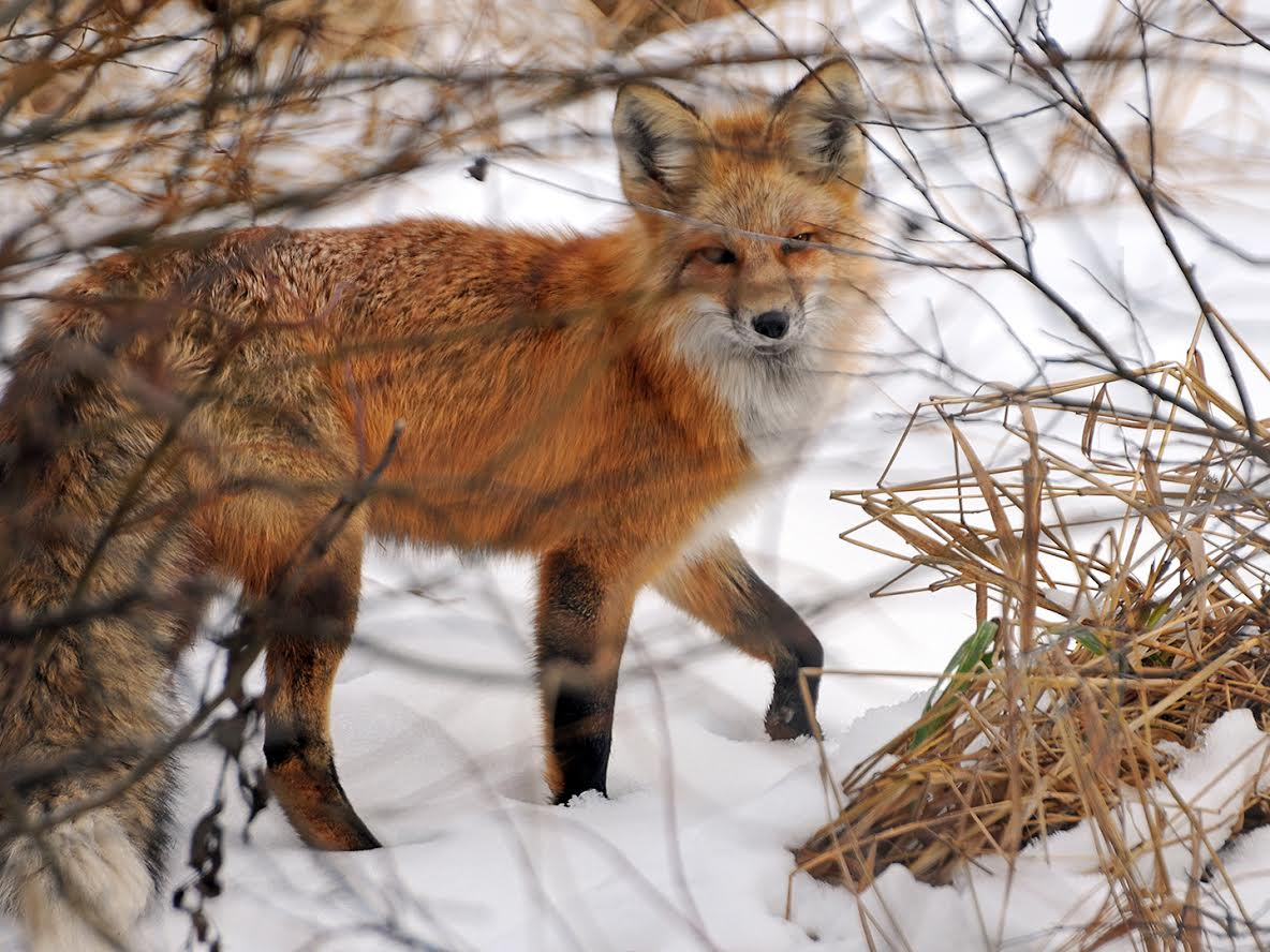 Fox in the snow. Submitted by Jeff Hall.