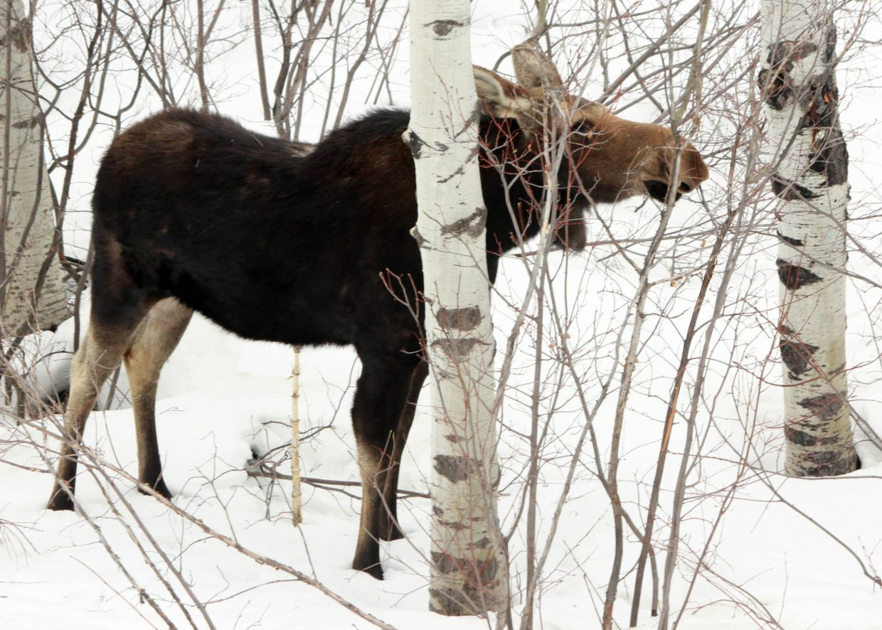 """Moose hiding behind aspen, just off Fish Creek Falls Road."" Submitted by Curtis Rogers."