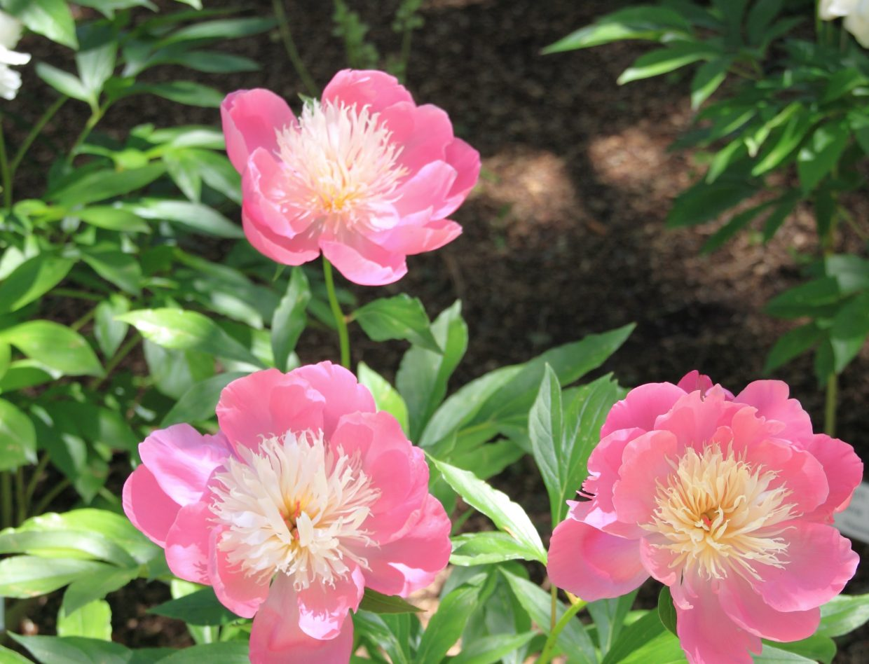 """1. """"Bowl of Beauty"""" peonies (Botanic Park July 7, 2016). Submitted by G Fredric Reynolds."""