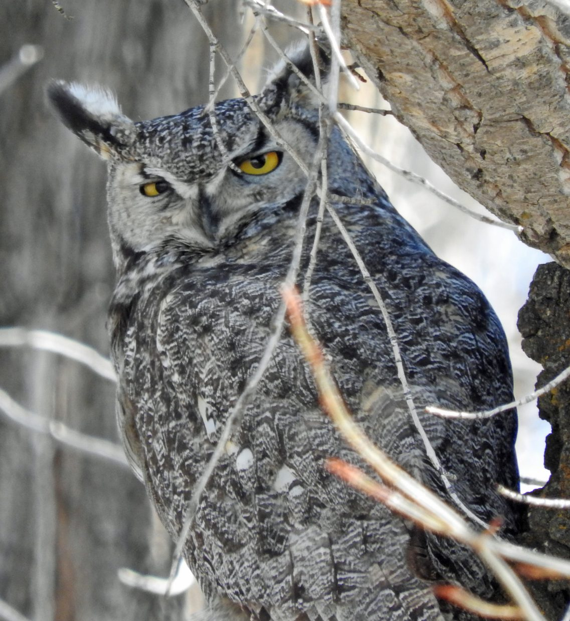 Whoo's looking at you? Great Horned Owl near Hayden. Submitted by Tresa Moulton.