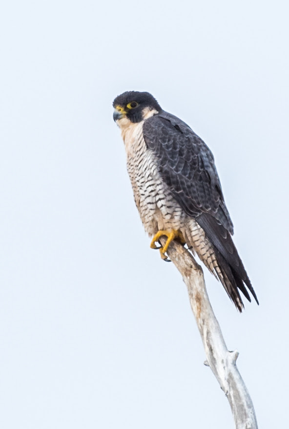 Peregrine falcon near the Yampa River.