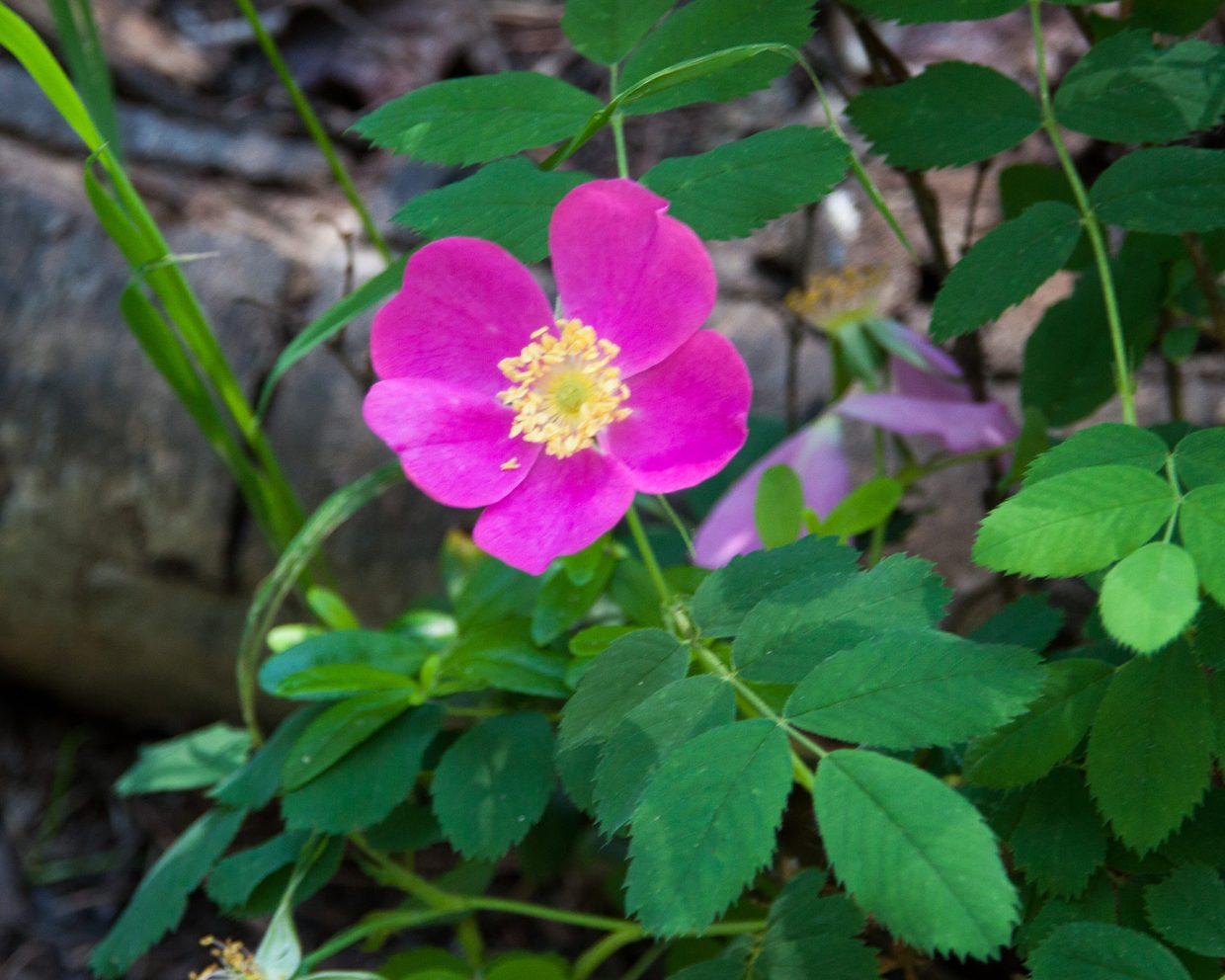 One of many wild roses on this trail. Submitted by G. Fredric Reynolds.