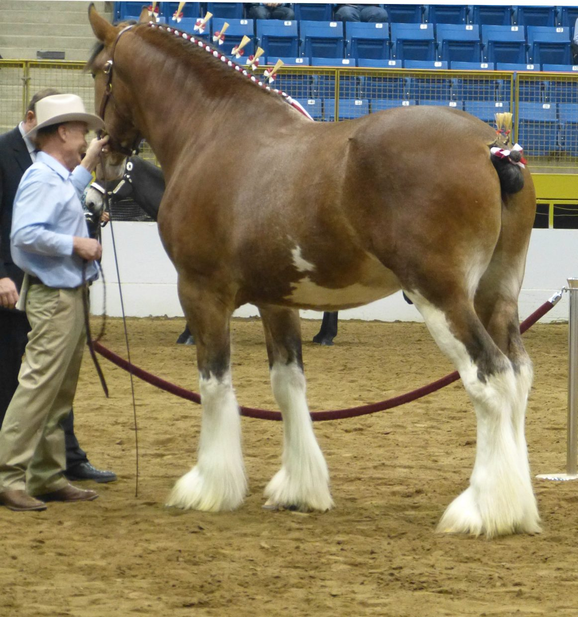 Hometown Heros- Champion Stallion 2015 National Western Stockshow- Owned & Bred by Barry Castagnasso in Hayden, Colorado. Submitted by: Andrea Sponseller