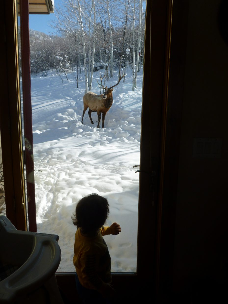 """Grandson of Locals Bonnie & P.D. Sohn sizing up an Elk in their back yard. Verdict is still out on which is the more wild of the 2 """"beasts"""". Pictured:Ashton, 18 months & """"Bernie"""" the Elk. Submitted by"""" Bonnie Sohn."""