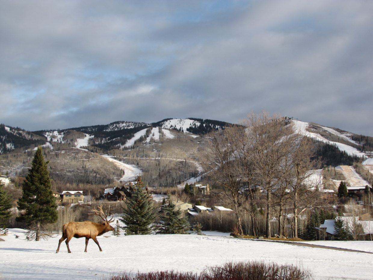 This photo shows a large bull elk as he walks across the Rolling Stone Golf Course. He briefly stopped right in front of the second green as if to take in the scenery, which allowed just enough time to take some pictures. Off camera there was another bull trailing the other. Submitted by: Matt Dawes.