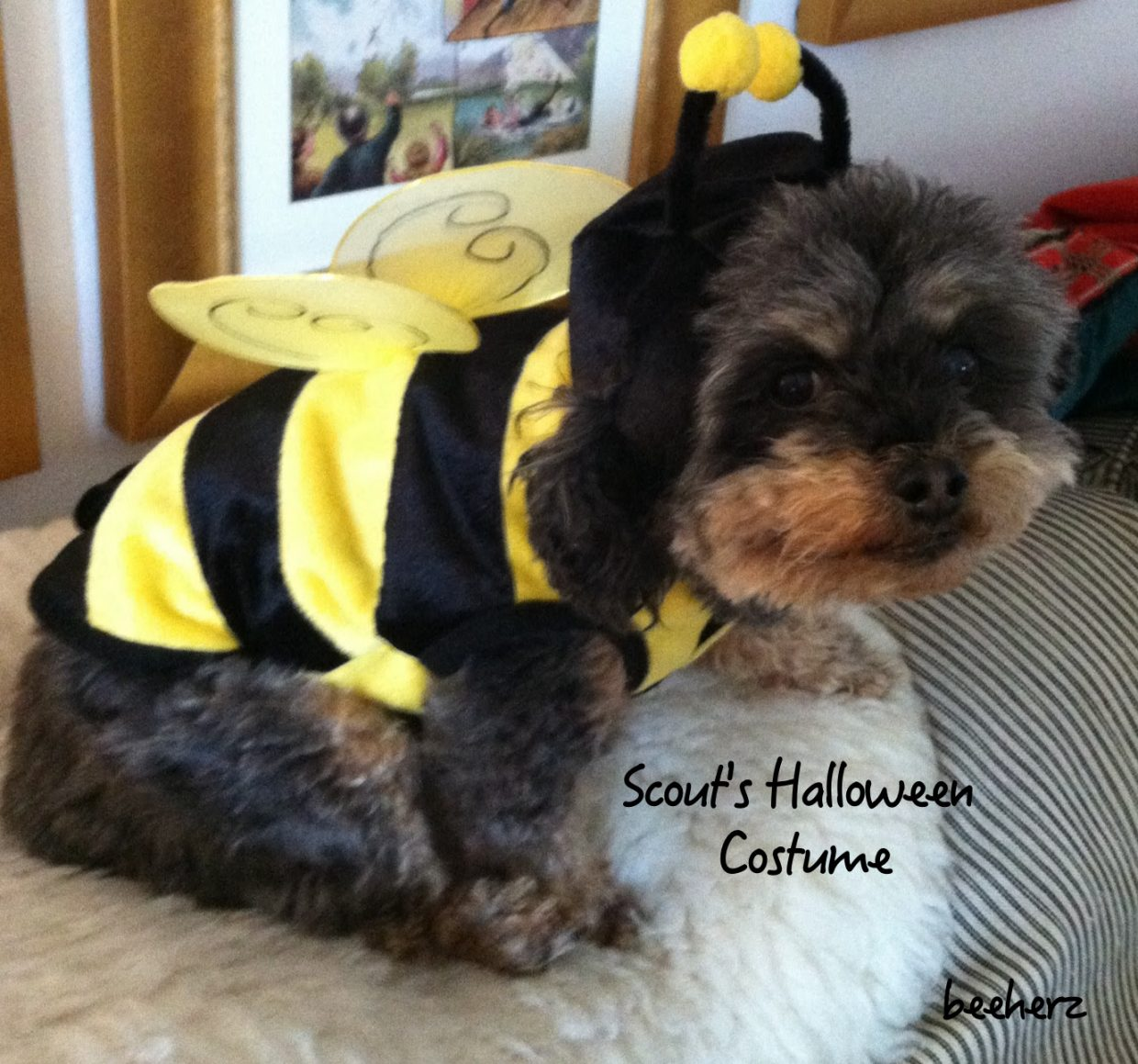 Scout, in her honey bee suit for Halloween. Submitted by: Bee Herz.