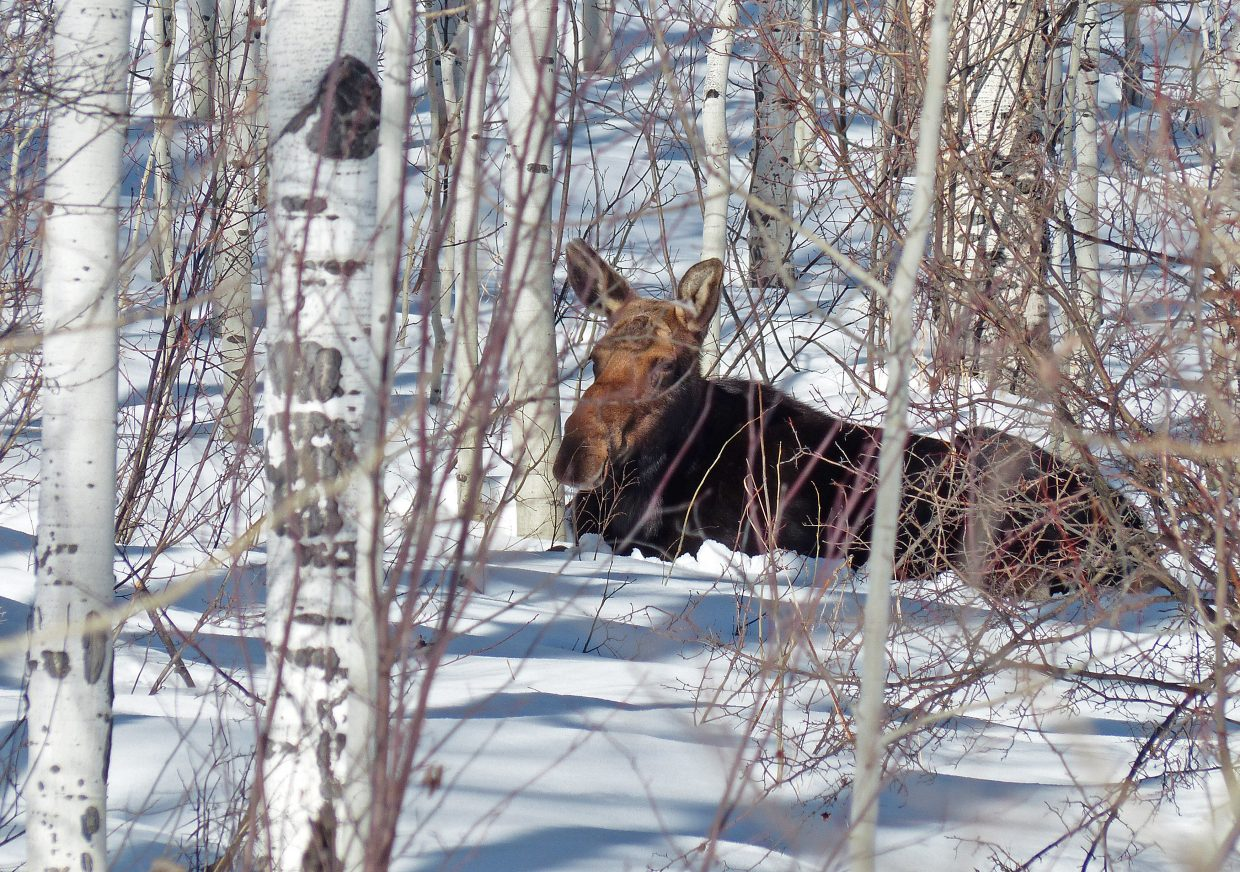 Moose resting near the Spring Creek Trail. Submitted by: David Moulton.
