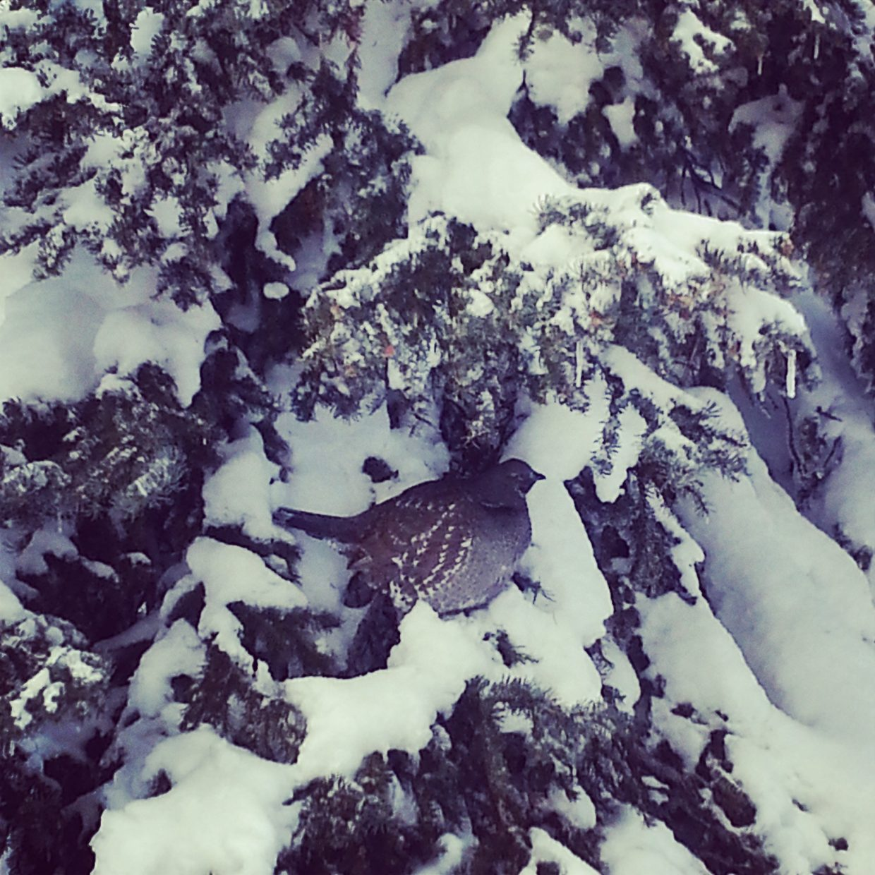 Ptarmigan enjoying the view on No Names. Submitted by: Mary Lourenco.