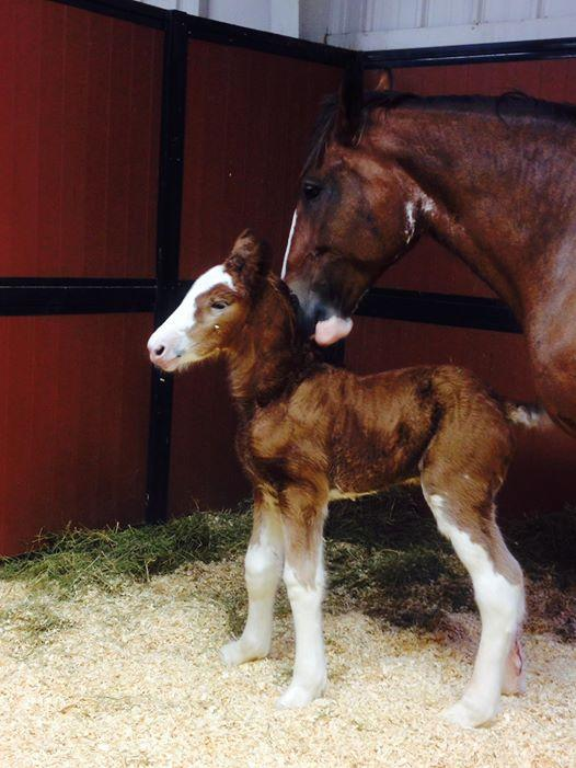 "One of Budweiser's newest foal ""Memory"", foaled by Barry's Stallion Tollgate Ambassador (Photo credits for ""Memory"" Anheuser-Busch). Submitted by: Andrea Sponseller"