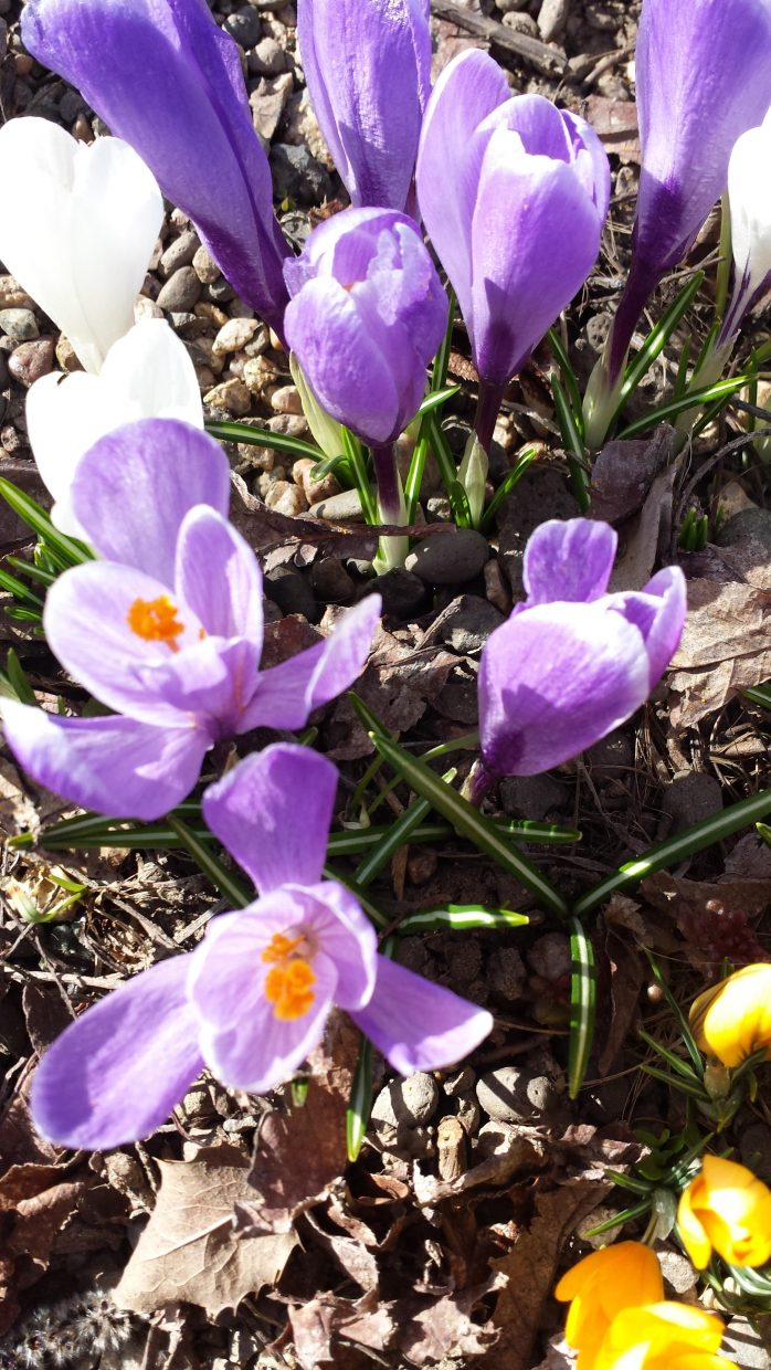 Blooming in Sascha's Rock Garden at Yampa River Botanic Park. Photo submitted by: Sonia Franzel.