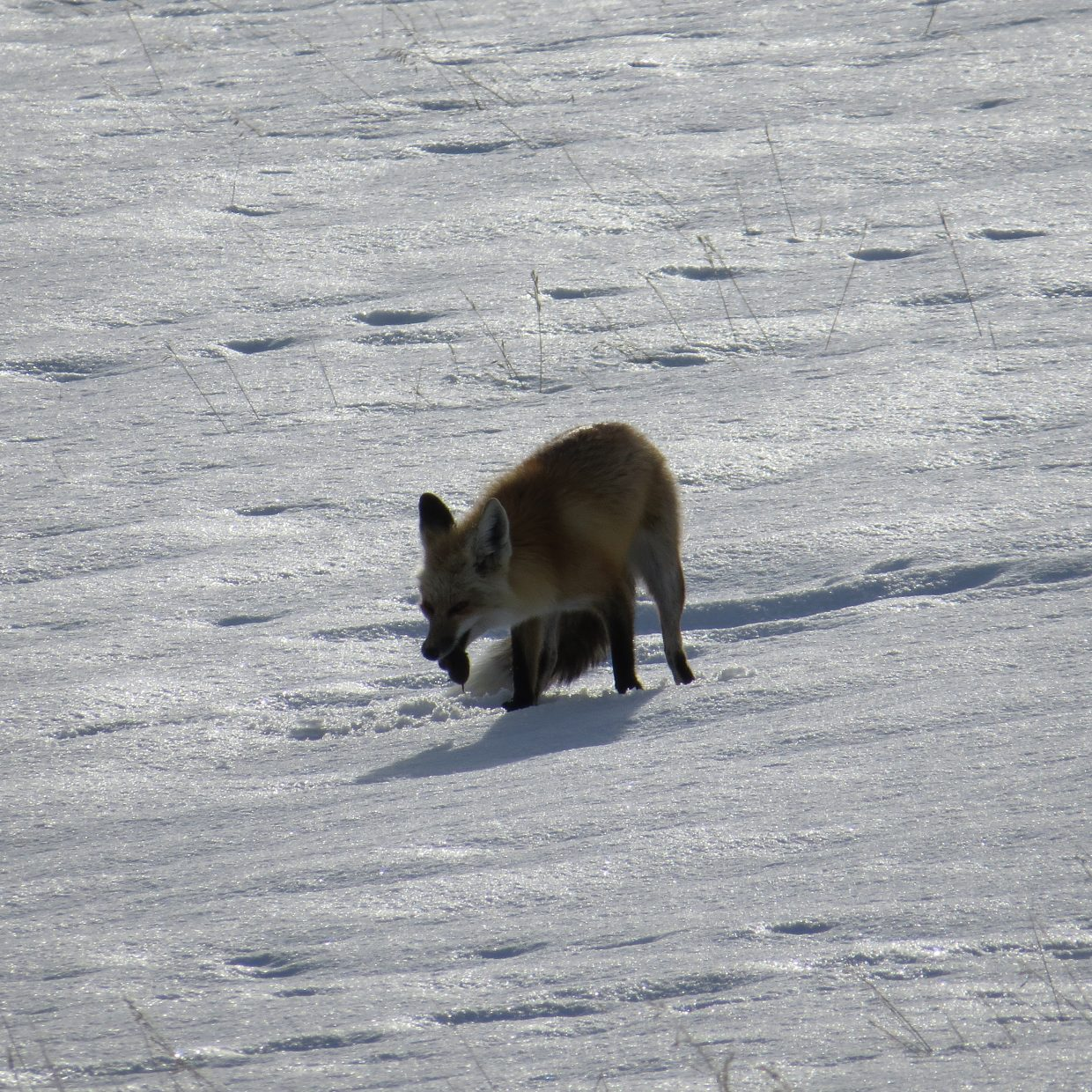 Fox on the hunt. Submitted by: Vicky Slaight.