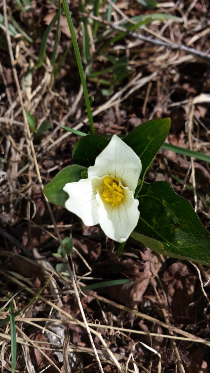 Native trillium blooming at Yampa River Botanic Park. Photo submitted by: Sonia Franzel.