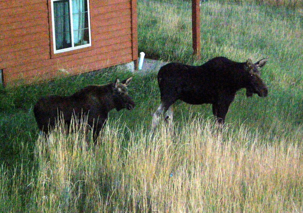 Moose and yearling. Submitted by: Roxanne Pranger.