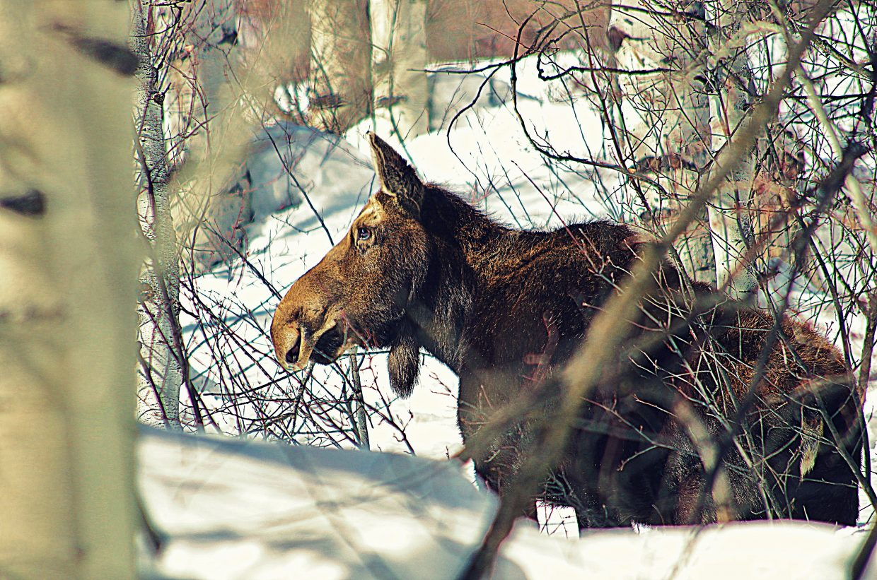 """""""The Spring Creek moose hanging out far up the trail, and minding her own business. She says, 'Please pick up after your dogs and keep them on a leash!'"""" Submitted by Matt Helm."""