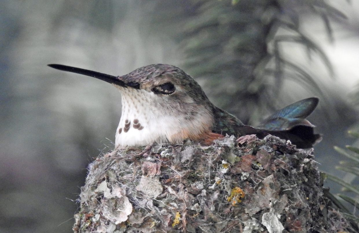 Broad-tailed Hummingbird on her nest--side view. Submitted by Tresa Moulton.