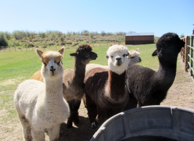 Bjorn and Susan Kielman's alpacas. The alpacas are gentle and inquisitive. Submitted by: Verleen Tucker