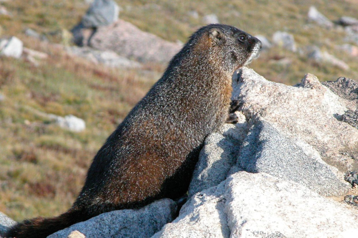 """Can a rodent forecast the weather? If groundhogs are not common where you live, you can do what Alaska did in 2009 and declare Feb. 2 to be """"Marmot Day."""" After all, groundhogs are marmots. This big fellow definitely saw his shadow on this sunny day in the Flat Tops Wilderness Area south of Steamboat Springs."""