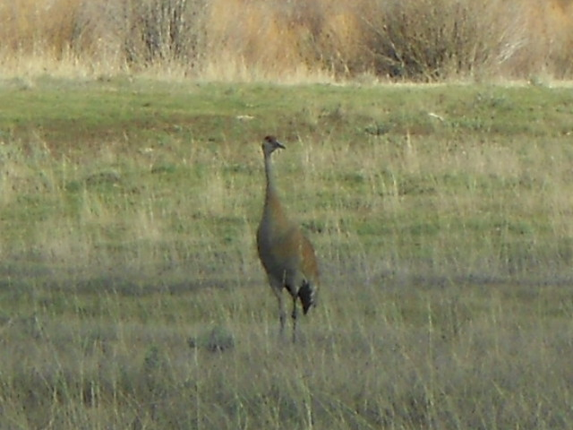 A beautiful sandhill crane living peacefully. Submitted by: Maryedith Davies