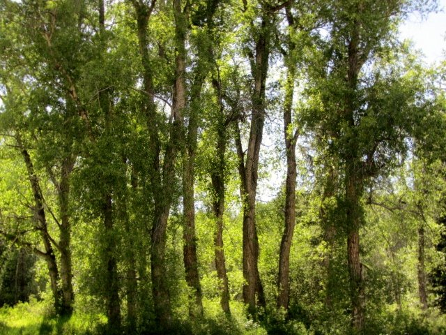 Lovely grove of cottonwoods close to Trout Creek. Submitted by: Verleen Tucker