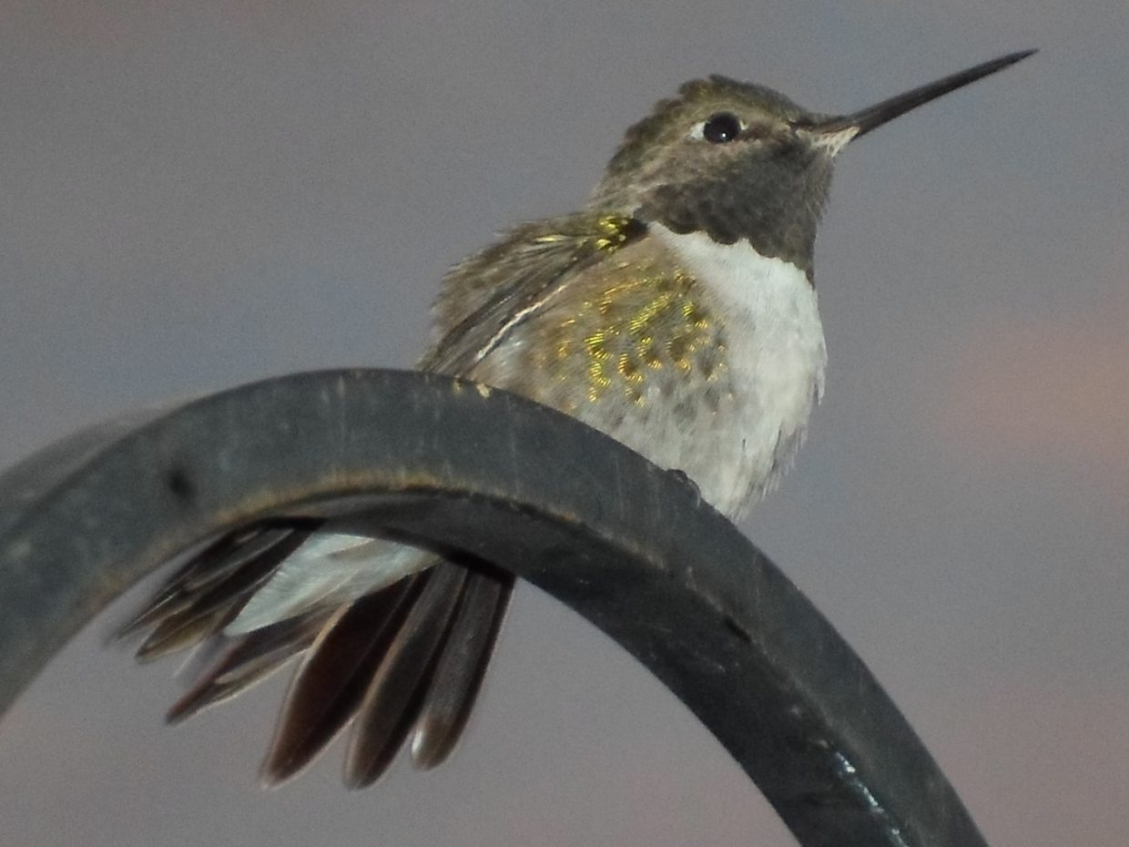 Hummingbird in Clark. Submitted by: Kai Lancaster, 9 years old