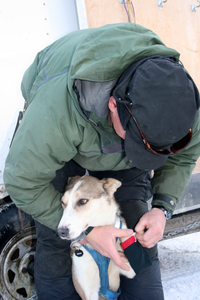 Kris Hoffman preps one of his dogs for the Iditarod.