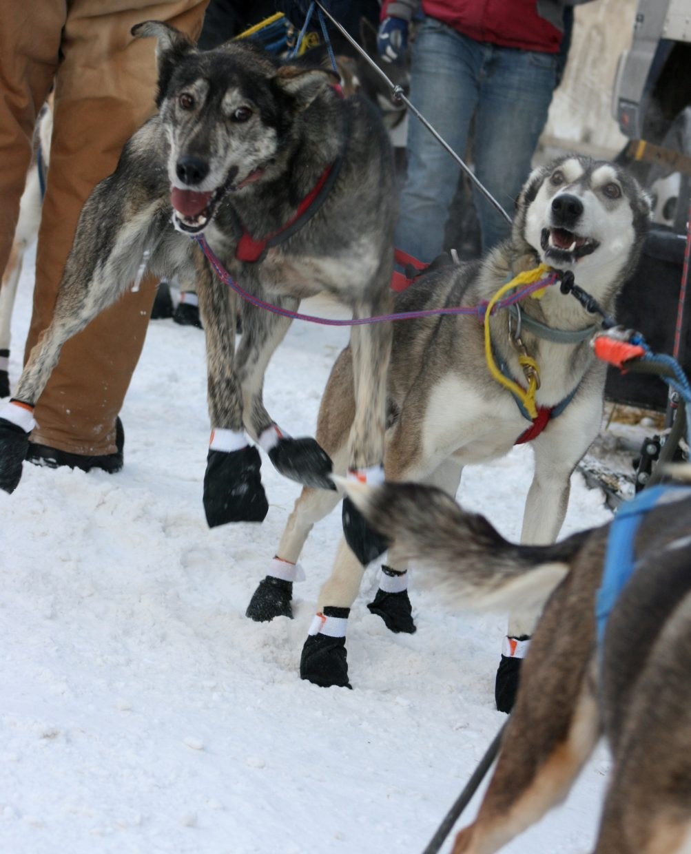 Sled dogs, or Alaskan Huskies, which is the type of dog Hoffman and Thurston race, metabolize food at such an efficient rate that at the end of a long race, the dogs actually run stronger and faster than at the beginning.