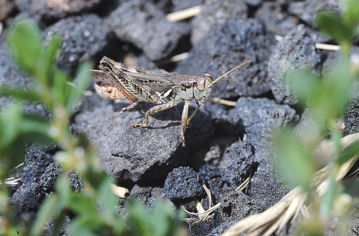 A grasshopper sits on the edge of the pavement of a street in Steamboat Springs. The hopper has just jumped out of the nearby dry grass.
