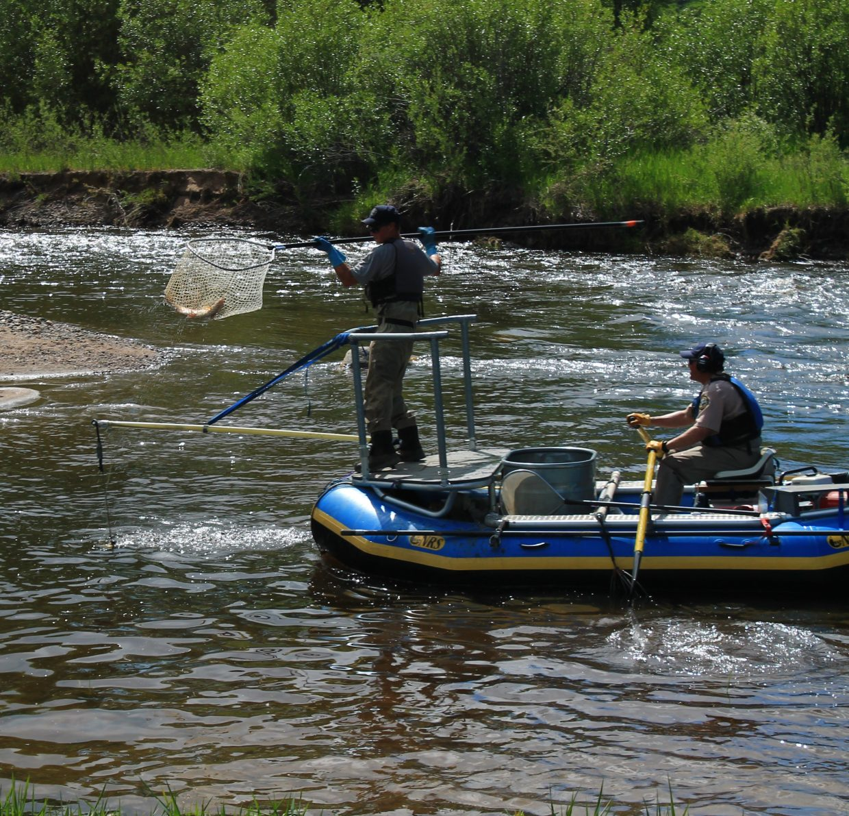 Netting trout on the Yampa. Submitted by: Brian Savoie