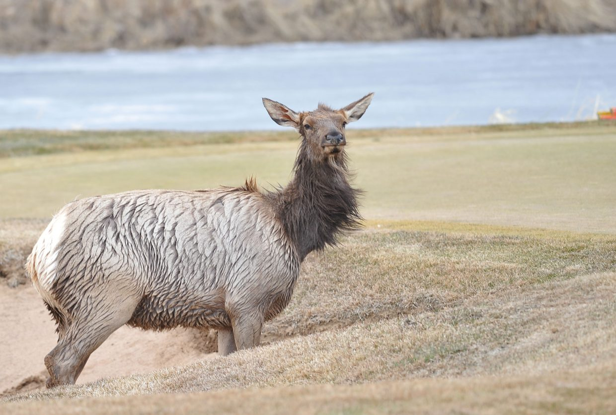 A recently published study shows that human development could be causing permanent declines in elk populations in areas of Colorado, including Routt County.