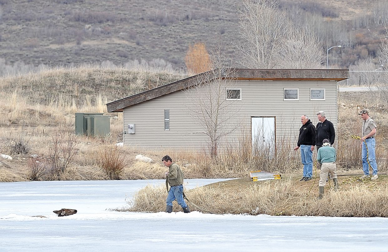 Haymaker Golf Course employee Dave Morter places a strap around the neck of a cow elk that had fallen through the ice at the golf course Wednesday afternoon. Rescuers were able to pull the animal to the shore.