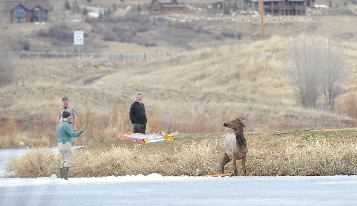 Haymaker employee John DiNicholas attempts to move an elk away from an ice-covered pond at Haymaker Golf Course on Wednesday afternoon. Rescuers were able to use ropes and a 4-inch wide strap to pull the elk from the icy pond.