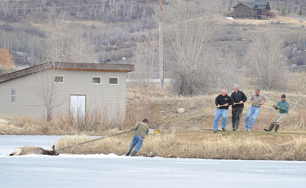 Rescuers pull a cow elk to shore after the animal fell through the ice at Haymaker Golf Course.