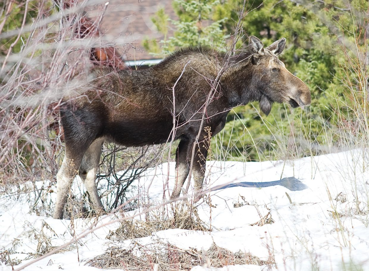 A moose looks for something to eat while it stands in the snow in an open meadow Thursday near Storm Meadows Drive in Steamboat Springs.