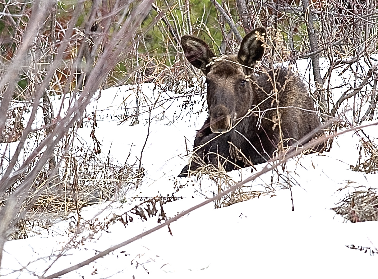 A young moose lays in the snow in an open meadow Thursday near Burgess Creek road in Steamboat Springs.