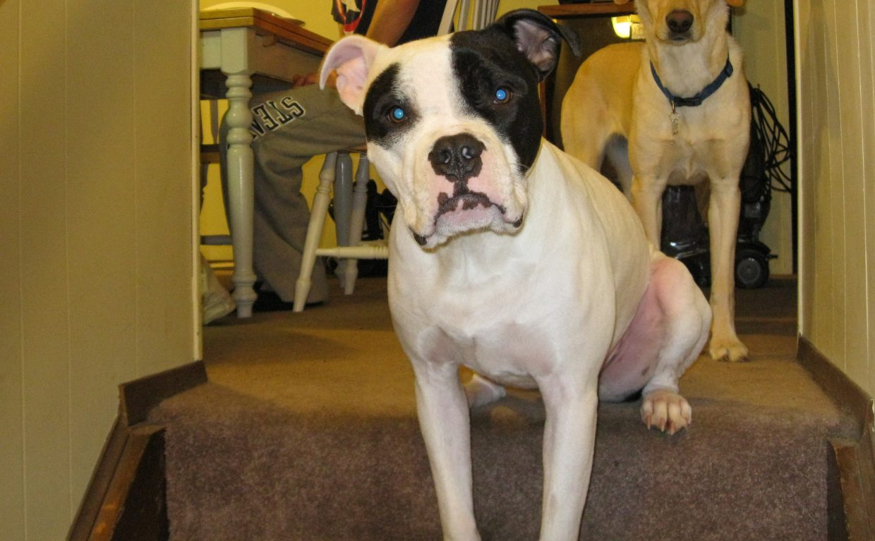 Odie, a boxer pitbull mix, belongs to Steamboat Springs couple Heidi Blackmar and Pat Yeager. Odie competed head to head with his owners and 52 other humans in this year's NCAA men's basketball tournament bracket.